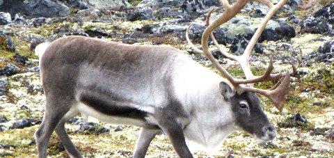 Villrein: «Villreinfjellet Rondane som verdiskaper» er tildelt tilskudd  Foto: Arkiv