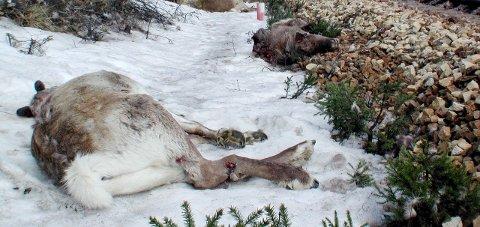 Nordlandsbanen hadde klart flest dyrepåkjørsler med 281 stykker i vinter. Foto: Asbjørg Sande, arkivfoto