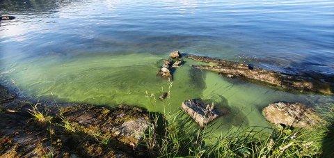 ALGER: Det er funnet små doser med blågrønnalger på Mjøsstrand, men det er ikke bekreftet om de er giftige eller ikke.