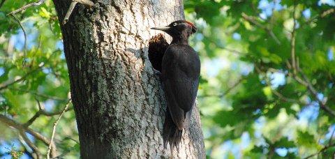 Den lett gjenkjennelige svartspetten, helsvart med litt rødt på toppen, er del av det rike fuglelivet.