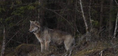 Nye bilder av ulv fotografert på Flateby tirsdag 2. mai.
