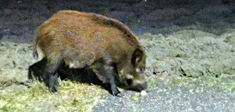 Flere observasjoner: Villsvin er blitt observert på Øyenkilen flere ganger den siste tiden. Dette bildet ble lagt ut på Facebook-gruppa Øyenkilen vel 16. januar. Om det er dette villsvinet som nå er skutt vites ikke. Fredriksstad Blad har fått tillatelse til å bruke bildene i saken.
