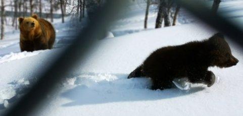 BJØRNUNGE: Dette er det første – og eneste bildet av den nye bjørnungen i Polar Park.