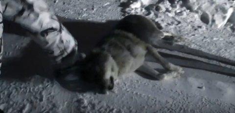 I et klipp fra dokumentarserien Insider, som er fra en ulvefelling i januar i fjor, vises en ulv som nylig har blitt skutt av et jaktlag. Det som skjer etterpå får flere til å reagere. (Skjermdump, dplay)