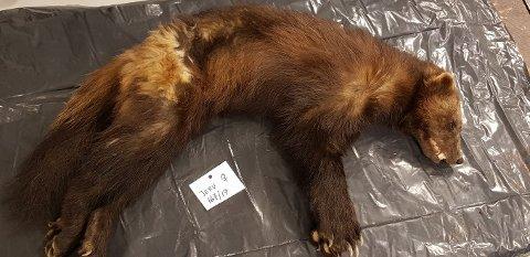 TYNN: Jervetispa som trolig ble mist 18 år gammel, var avmagret da den ble funnet. SNO avlivet dyret.