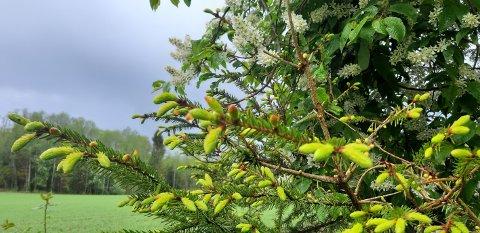 Det strutter av liv i skogen nå – (granskudd og blomstrende hegg)