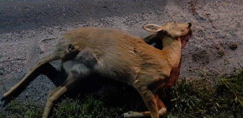Dyret døde etter sammenstøtet.