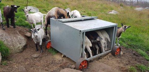 «Løsningsorienterte geiter. Alle må få» skriver fotografen om geitene som denne sommeren beiter på Gitleberget.