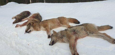 ULVEJAKT: Fire av de seks ulvene i Letjennareviret i Elverum ble skutt på første dag av lisensjakten, det er alfaparet og to årsvalper som ble tatt ut.