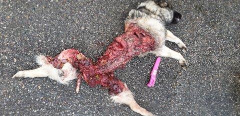 FUNNET SLIK: Her ligger nesten tre år gamle Rufus. Hunden ble funnet fredag og det er påvist at han er drept av ulv.