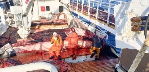 MANGE TONN: - Ny rekord fangst for oss på Reinebuen. 46 dyr på 13 dager i april utenfor Vardø/Kiberg, skriver Reinebuen AS på sin Facebook-side.