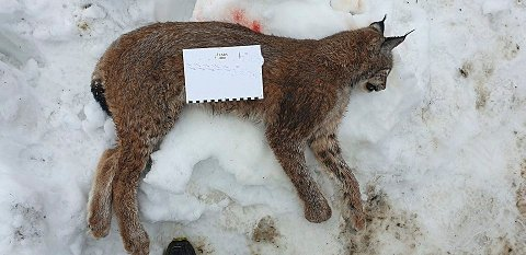 Denne hunngaupa på 16,4 kg ble felt i Efteløt klokken 14.30 tirsdag.