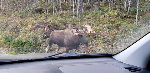 PÅ VAKT: Her er en elg på rundt 500 kilo. Bilister bes om å være oppmerksom etter elg langs veiene.