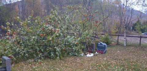 VELTET TRE: Her ligger treet over gravstøttene til oldefaren og bestemoren til Karina Brynlund.