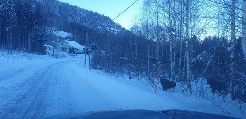 SE OPP: Det er ventet mye elg langs veiene våre fremover.