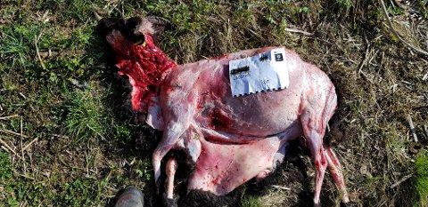 Sau av rasen gammel norsk spelsau tatt av ulv på vestsiden av Mjær i Ytre Enebakk. Tilsammen er tre sau bekreftet tatt av ulv, mens en fjerde søkte mot vannet og greide å redde seg unna.