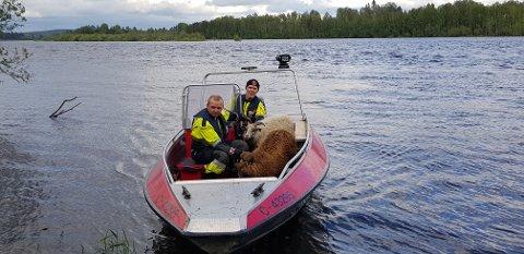 REDDET: Her er to av sauene på vei i land sammen med brannkonstablene Peder Ole Brubak (foran) og Bjørn Holt. (Foto: Brannvesenet)