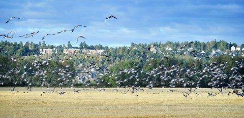 GJESS PÅ JORDET: Bildet er tatt i 2013 – og gåsa er en stadig større utfordring for de som driver landbruk rundt Ilene naturreservat. Fuglene spiser opp kornet.