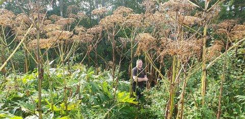 KJEMPEPLANTER: Det er disse giftige plantene som ble funnet langs en elv i Tønsberg i sommer. Plantene var visne da fylkesmannen og en rekke andre aktører var på befaring i september. Mannen på bildet er entreprenøren som har fått i oppdrag å bekjempe arten.