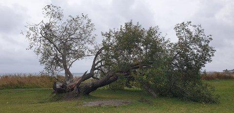 VELTET: Slik ser det store treet ved Skallevoldstranda ut nå.