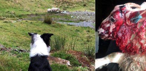 Lammet kom blødende hjem fra beite, med store smerter og manglende horn.