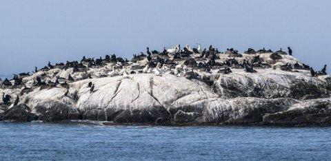 MYE SJØFUGL: Også mange andre fuglearter trives i Gimsøystraumen. Her er en storskarvkoloni ytterst i straumen.