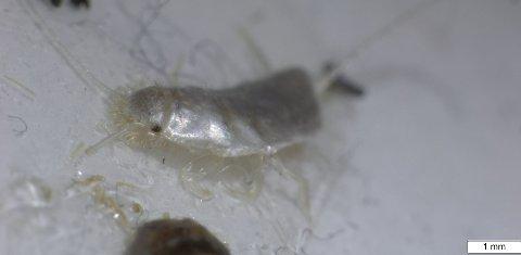 INNTAR NYE HUS: Det nyoppdagete insektet trives godt i varme og tette boliger.