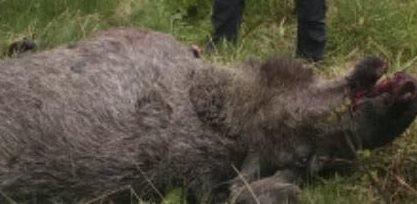 AVLIVET: En elg med byller ble avlivet i Sør-Olderfjorden.