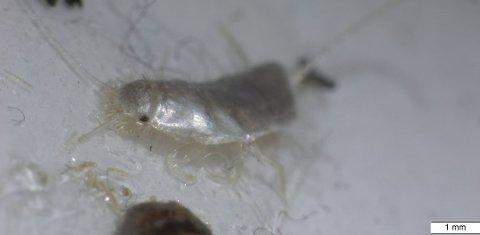 Det nyoppdagete insektet trives godt i varme og tette boliger. Foto: Mycoteam/ANB