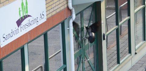 KRÅKETRØBBEL: Denne kråka gir både beboere og bedrifter i Sande sentrum problemer.