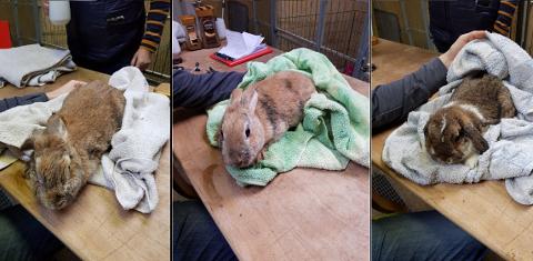 Tre av kaninene som ble konfiskert fra eier og midlertidig plassert hos Skiptvet Dyrepensjonat.