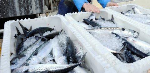 Den norske makrellbestanden har hatt en voldsom vekst. Her dras en makrell opp av Oslofjorden. Illustrasjonsfoto: Kurt André Høyessen