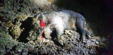 AVLIVET: Dette villsvinet ble skutt på et jorde i Løten tirsdag kveld.