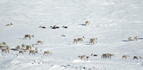 SJUKDOM I RONDANE: Et reinsdyr med fotråte ble avlivet i Dovres del av villreinområdet Rondane Nord denne uken.