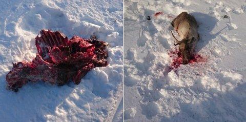 TRE DYR TATT: Så langt er tre reinsdyr bekreftet tatt av ulv i Rendalen denne uka. Mandag vil Rendalen Renselskap søke om et raskt og effektivt uttak av ulven. Foto: Rendalen Renselskap