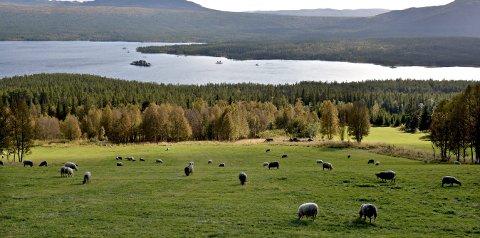 SAMLING: Landbrukets dag i Numedal arrangeres i Middelalderskogen førstkommende lørdag. Disse sauene, derimot, må nok bli igjen på Tunhovd.