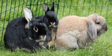 Marit Emilie Buseths tre kaniner er gode eksempler på friske og sunne kaniner. Fra venstre: Harald, Melis og Even.