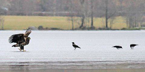 Havørn og kråker på Edlandsvatnet.