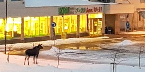 STENGTE DØRER: Elgen som har trukket til Alta sentrum de siste dagene er trolig på jakt etter mat, men på påskeaften stengte butikkene tidlig.