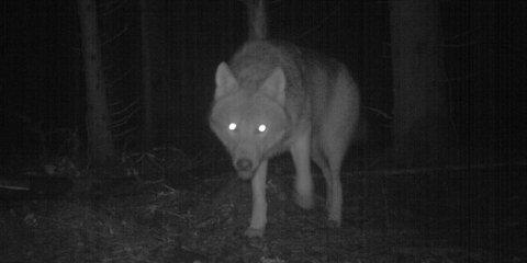 Ulven som er fanget av viltkameraene i Mossereviret er søster til den nåværende ledertispa i Østmarka.