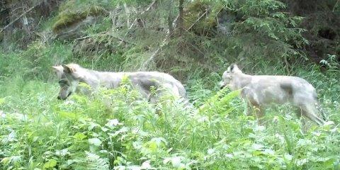 Skjermdump fra et viltkamera i Østmarka viser de to gjenværende ulvene i reviret jakte på det som trolig er mus. Opptaket er datert 7. juni og er gjort av kameraet til Norsk institutt for naturforskning / http://viltkamera.nina.no. Foto: Norsk institutt for naturforskning / NTB