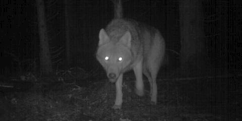 FØRE VAR: Våler vil være føre var og søker om lisensjakt på ulv.