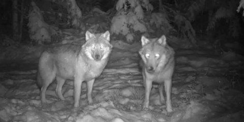 FOTOGRAFERT: To ulver fotografert sammen i Lørenskog 14. februar.