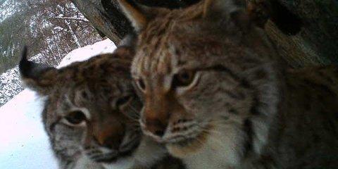 To voksne gauper ble fanget på Vegar Pedersens viltkamera.