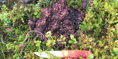 Samles inn: Bjørnebæsj inneholder ofte mye bær på sensommeren og høsten.