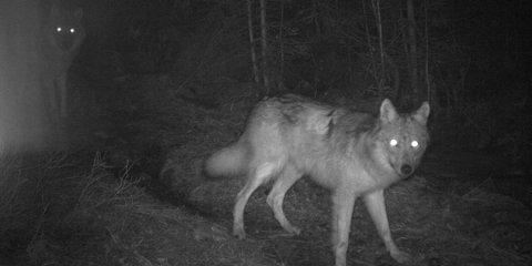 Rovviltnemda for Østfold, Akershus og Hedmark vedtok i dag å ta ut ulvene i Hobøl-reviret.