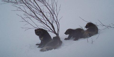 Jerv: Jervetispe og tre valper i Målselv. Foto: SNO
