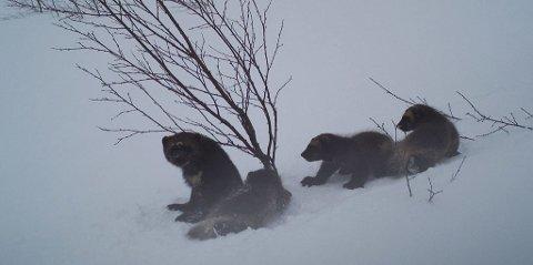 Jerv: Jervetispe og tre valper fotografert av SNO i Målselv. Ill. Foto: SNO