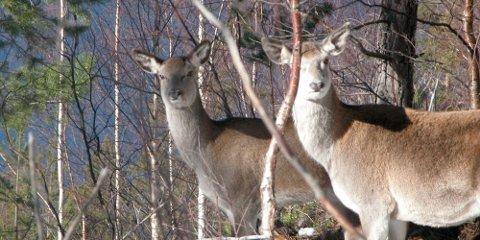 STRID: Det er full strid i Vang når det gjeld jakttider og kvoter i Vang denne hausten. (Arkivbilete)