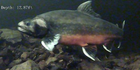 GYTEKLAR: Storrøye på cirka 4 kg på en av de kjente gyteplassene i Randsfjorden. Bildet er hentet ut fra et video-opptak.